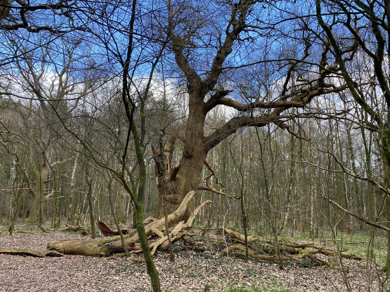 Alte Eiche im Burgwald Dinklage · 26. Febuar 2021