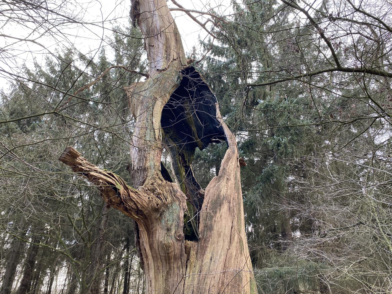 Abgestorbener Baum im Burgwald Dinklage · 26. Febuar 2021