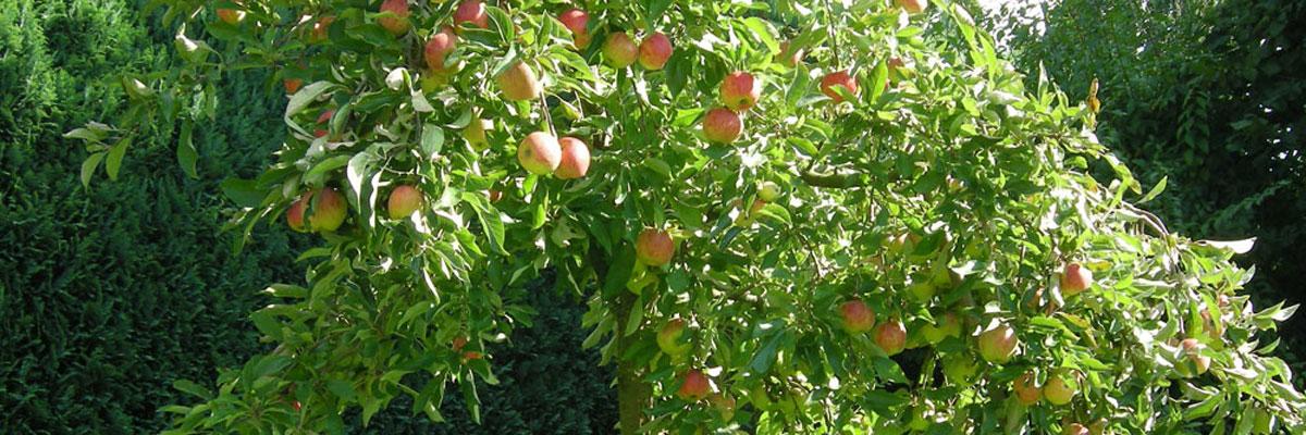 Der Apfel fällt nicht …